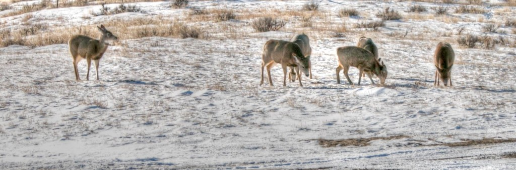 deer-1_tonemapped
